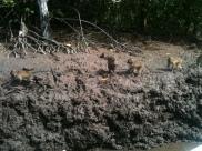 Mangrove Swamp, Langkawi monkeys