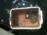 Mini stingray at Fish Farm, Langkawi Mangrove Tour