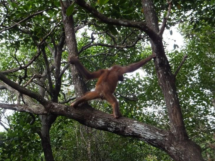 Shangri-La's Nature Reserve - Orang Utan Coming In