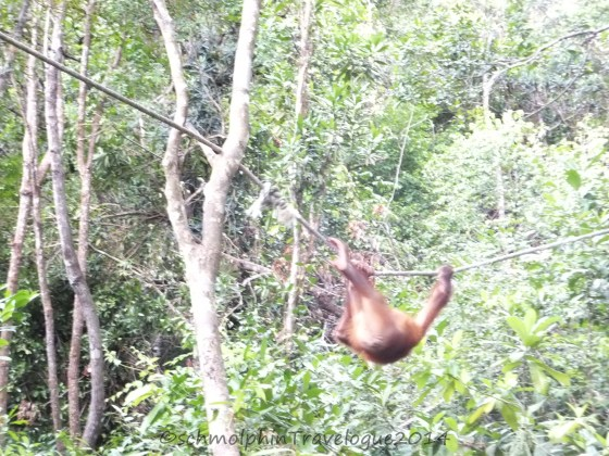 Shangri-La's Nature Reserve- Orang Utan Swinging on a Rope