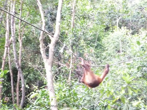 Shangri-La's Nature Reserve- Orang Utan Swinging on a Rope
