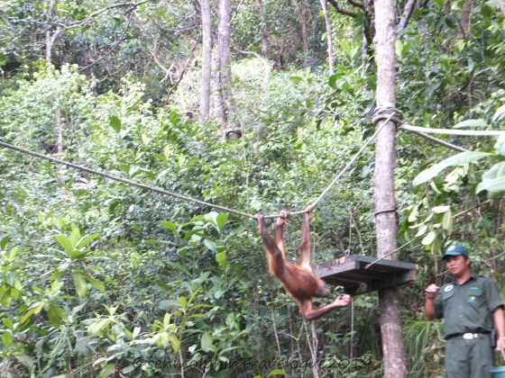 Shangri-La's Nature Reserve - Orang Utan Swinging on a Rope to the feeding area