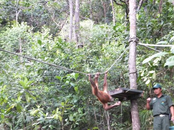 Shangri-La's Nature Reserve - Orang Utan Swinging on a Rope to the feeding area