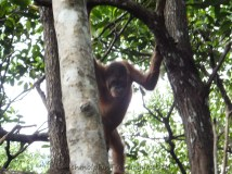 Shangri-La's Nature Reserve - Orang Utan on tree - Peek-A-Boo