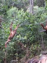 Shangri-La's Nature Reserve - Orang Utan swinging