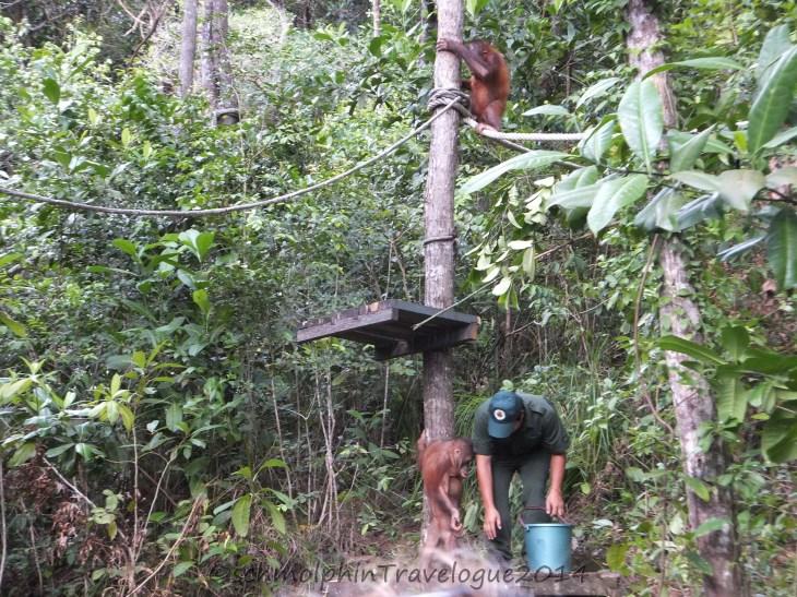 Shangri-La's Nature Reserve - Orang Utan Waiting for Food