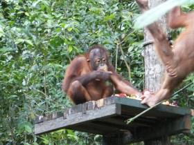 Shangri-La's Nature Reserve - Orang Utan enjoying some food prepared by the rangers