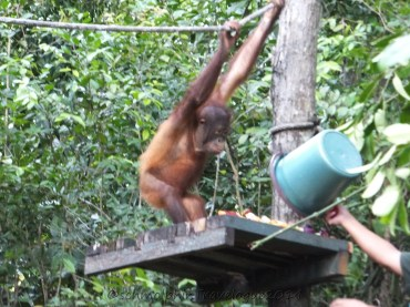 Shangri-La's Nature Reserve - Orang Utan enjoying more food given