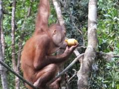 Shangri-La's Nature Reserve - Orang Utan enjoying corn