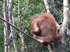 Shangri-La's Nature Reserve - Orang Utan turning his back on us.. His sexy ass..