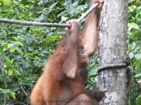 Shangri-La's Nature Reserve - Orang Utan dreaming