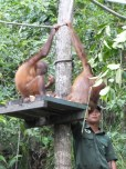 Shangri-La's Nature Reserve - Orang Utan - 2 appears