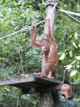 Shangri-La's Nature Reserve - Orang Utan - Ready to play