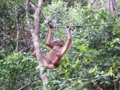Shangri-La's Nature Reserve - Orang Utan - Playing
