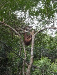 Shangri-La's Nature Reserve - Orang Utan - Playing