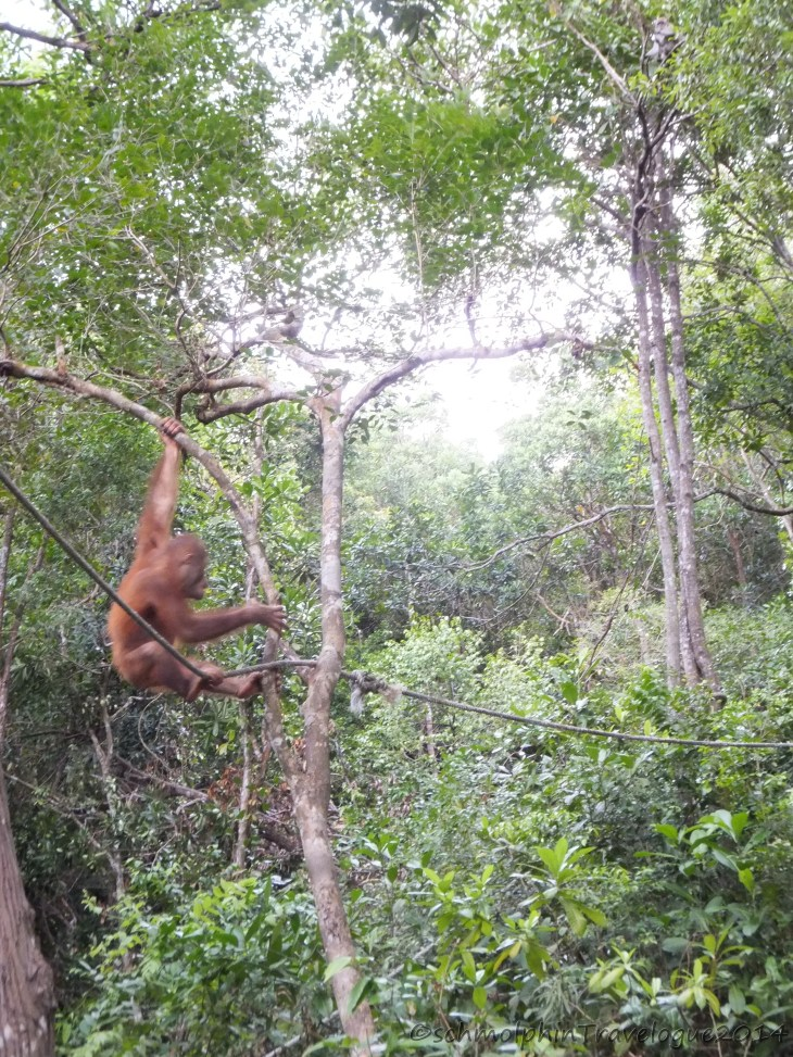 Shangri-La's Nature Reserve - Orang Utan Swinging with all his might