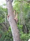 Shangri-La's Rasa Ria Nature Reserve – OrangUtans