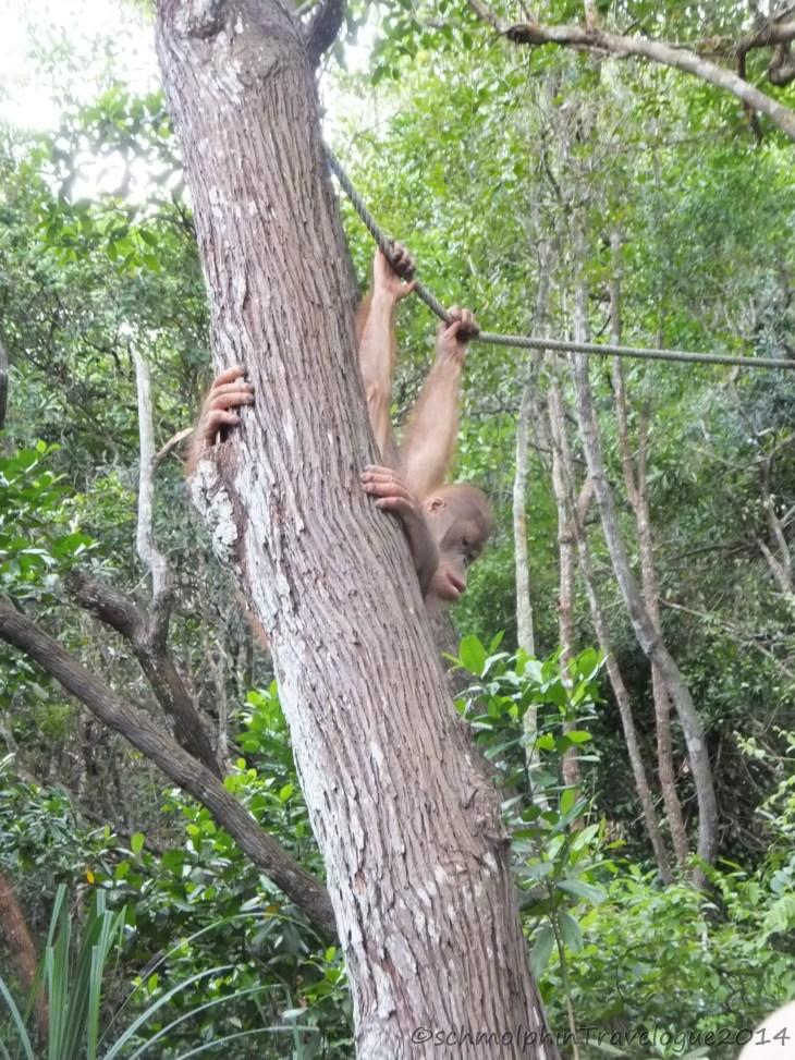 Shangri-La's Rasa Ria Nature Reserve - Orang Utan Holding on to a tree