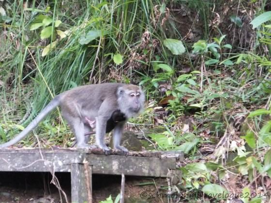 Shangri-La's Nature Reserve - Orang Utan - MAcaque with Baby