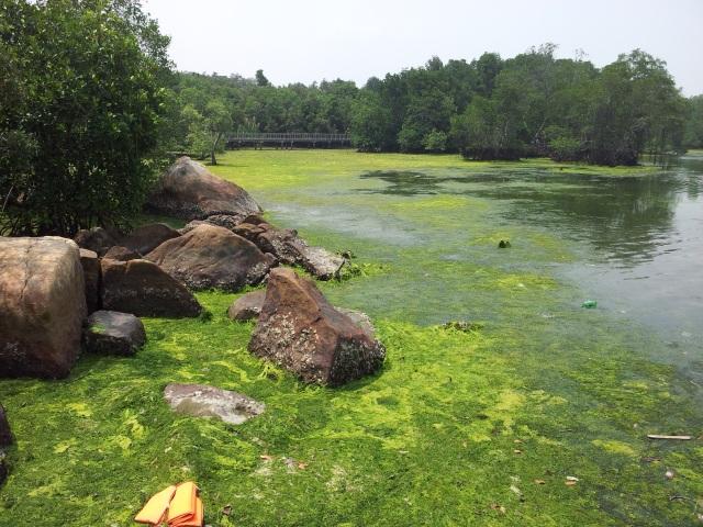 Pulau Ubin Mangrove Swamp