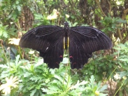 Cameron Highlands Butterfly Farm - Butterfly in Black Red Back View