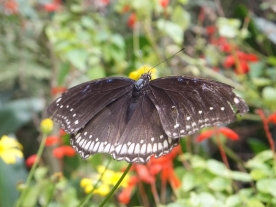 Cameron Highlands Butterfly Farm - Butterfly in Black Blue