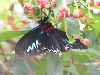 Cameron Highlands Butterfly Farm - Blue Black Red Butterfly Hanging Upside Down
