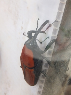 Cameron Highlands Butterfly Farm - Weevil Beetle