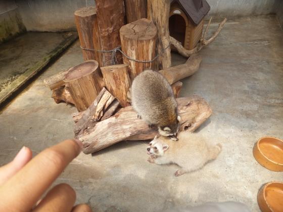 Cameron Highlands Butterfly Farm - Playful Raccoons