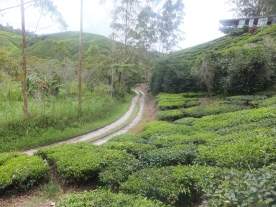 Sungei Palas BOH Tea Centre Plantation route for machine