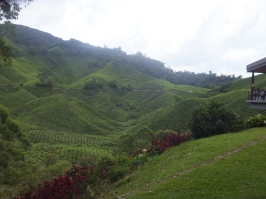 Landscape of Sungei Palas BOH Tea Centre