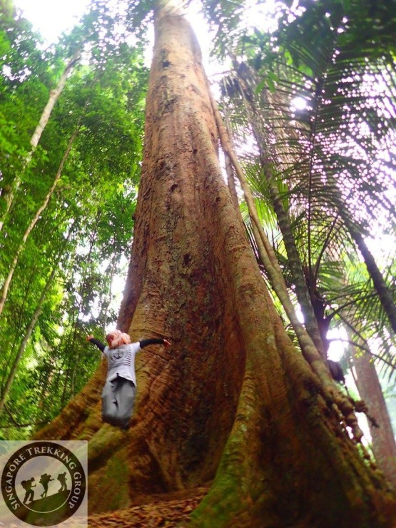 Gunung Lambak 1 day hike with Singapore Trekking Group - Jumpshot at the Big Tree