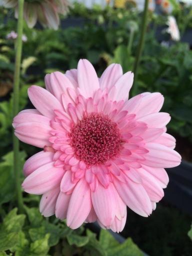 Cameron Lavender Garden Pink Gerbera