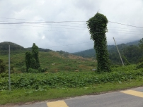 Sipitang to Tenom via Beaufort Route - Look at both trees, what shape do you see?